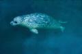Harbour seal coming depths. depths