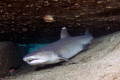 Get Reclusive white tip reef shark less thrilled have visitors hiding under rubble Mala pier Maui. Maui