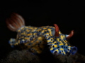 Hypselodoris Nudibranch