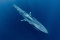 """Torpedo. Blue whale largest ever known animal lived earth cruising pass just below surface sea. """"Torpedo"""". """"Torpedo"""" sea"""