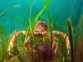 Mating pair Common spider crab Maja brachydactyla