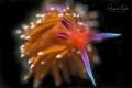 Nudibranch Black La Paz Mexico