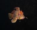 Tompot blenny Parablennius gattorugine Picture taken Kenmare Bay Ireland. Ireland
