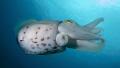 Cuttlefish Gili Banta