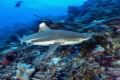 Fast shark. Nikon D800E 1735mm two strobo.ISO200 F10 125 shark 17-35mm 17 35mm strobo. strobo 1/25 25
