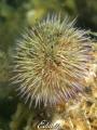 Sea urchine snotwurms zeeappel psamechius miliaris