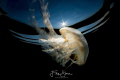 Compass jellyfishChrysaora hysoscella Zeeland Netherlands. Netherlands
