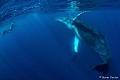 Amazing encounter Humpback Whale Tonga