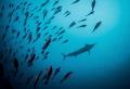 Blue Marlin Misool Raja Ampat. Ampat