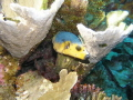 Blackspotted Puffer Arothron nigropunctatus citrinellus yellow variety swimming coral tongoreef