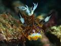 Beautiful Halgerda tessellata one often seen. Dumaguete Philippines. seen Philippines