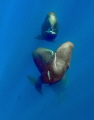 Trio whales rises form deep image under permit