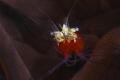 Popcorn anemone shrimp