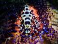 Coleman shrimps Lembeh Strait