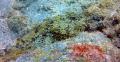 scorpion fish expertly camouflaged against rocks. Taken red filter GoPro HERO4 rocks