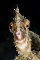 Radial filefish