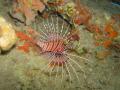 Zebra Lionfish Dendrochirus