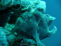 Giant frogfish Antennarius commerson