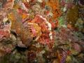 Tasseled Scorpionfish Scorpaenopsis oxycephalaperfectly camouflaged