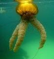 Sea Nettle Monterey California