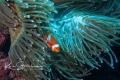 Just cute clown fish