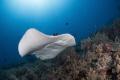 Marble ray Tubbataha reefs Seadoors liveaboard. liveaboard