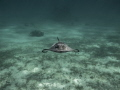 Beautiful Southern Atlantic stingrays north Sound Grand Cayman. Cayman