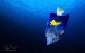 Red Sea Yellowbar Angelfish