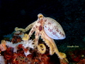 Beautiful Ocellate Octopus resting rock. rock