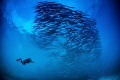 Barracudas diver