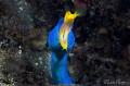 Blue Ribbon EelPhotographed 60 macro lens Lembeh Indonesia. Eel/Photographed Eel Photographed Indonesia