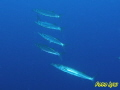 Blackspot Barracuda Sphyraena forsteri