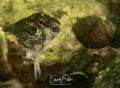 Dutch blenny steenslijmvis lipophrys. lipophrys