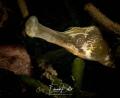 Large Sea needle grote zeenaald syngnathus acus