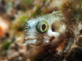 Spinyhead Blenny Acanthemblemaria spinosa Mingo Cay U.S. Virgin Islands US