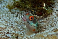 Found around pacific coast Costa Rica Panama down Colombia Panamic Barnacle Blenny has these stunning striking bright red eyes. eyes