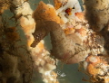 Short nose seahorse rare dutch waters. waters