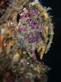 Longspined sea scorpion Taurulus bubalis Picture taken Dunmanus Bay Ireland. Long-spined Long spined Ireland