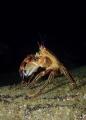 Velvet Swimming Crab Necora puber Picture taken Kenmare Bay Ireland