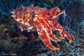 Broadclub CuttlefishPhotographed Canon 60 macro lens Alor Indonesia Cuttlefish/Photographed Cuttlefish Photographed