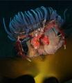 Spider Crab Inachus Sp. Picture taken Kenmare Bay Ireland. Sp Ireland