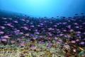 Juvenile form surgeon fishesJuvenile Bristletooth surgeonfish. Baa atoll Dharavandhoo surgeonfish