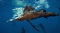 hunting sailfish