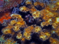 Dark Mantis Shrimp coral Polyps Blue Heron Bridge Florida