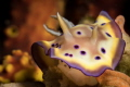 Chromodoris geminus think