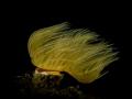 tube worm near Loutraki Greece