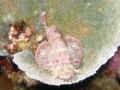 Tasseled Scorpionfish Scorpaenopsis oxycephala