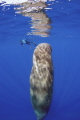 Perfect conditions Sleeping whale snorkeler. Taken under government permit. snorkeler permit