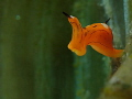Siphopteron trigrinum flying duckman