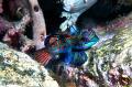 MandarinfishPhotographed Canon 60 macro lens Alor Indonesia. Mandarinfish/Photographed Mandarinfish Photographed Indonesia